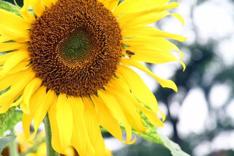 Theo đại diện phòng hướng dẫn và thuyết minh (Trung tâm Bảo tồn di sản Thăng Long), mục đích của việc trồng hoa hướng dương tại khu di tích nhằm tạo một điểm nhấn, một luồng gió mới và thu hút du khách nhân dịp cuối năm.