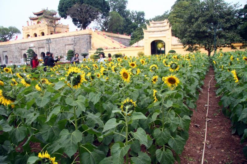 Khoảng 2.000 mét vuông trồng hoa hướng dương tại Hoàng Thành Thăng Long.