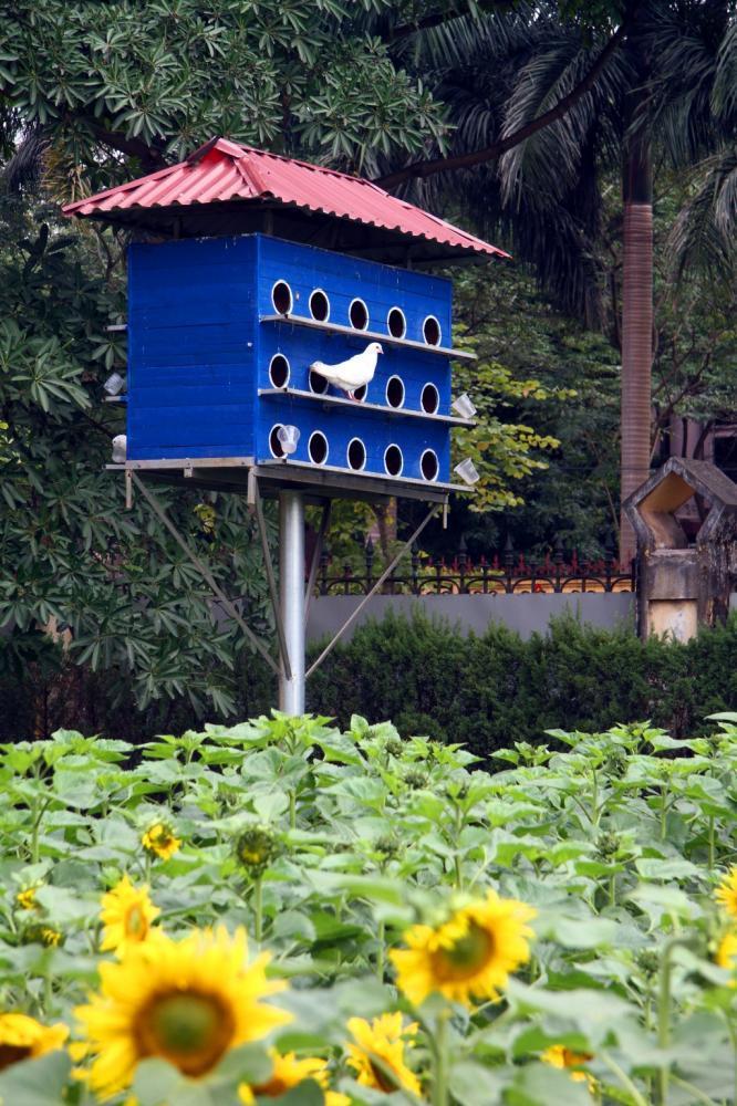 Vườn hoa hướng dương góp phần thu hút du khách tới Hoàng Thành Thăng Long.