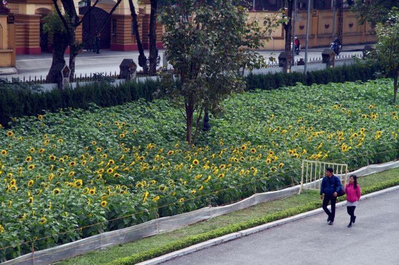 Nhiều du khách ngỡ ngàng khi tới đây tham quan, những hàng hoa hướng dương chạy dọc theo lối vào.
