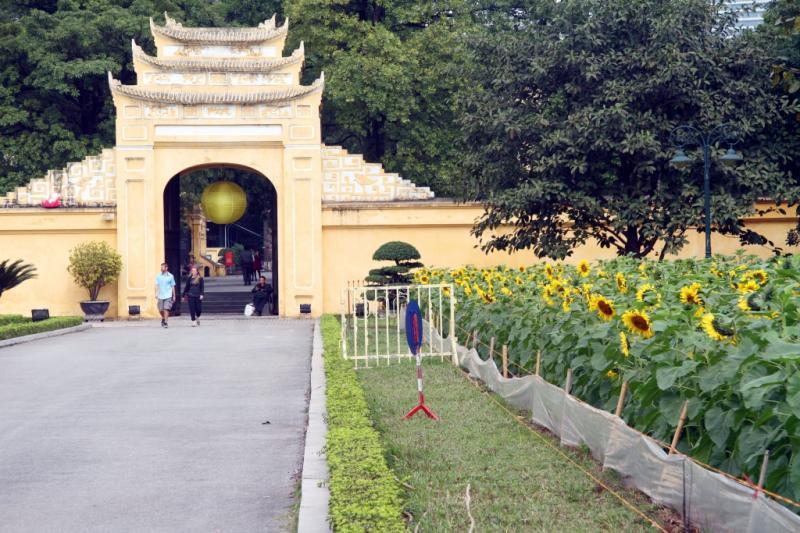 Đây có thể xem là vườn hoa hướng dương đẹp nhất giữa lòng Hà Nội.