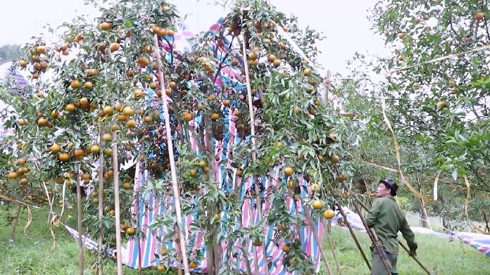 Người dân sử dụng bạt che phủ cây quýt chưa thu hoạch quả