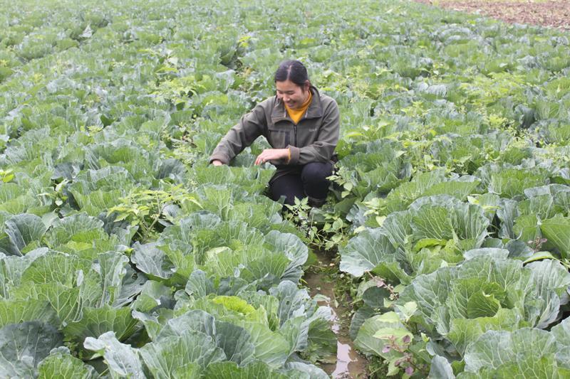 Chị Triệu Thị Hạnh tại mô hình trồng rau vụ đông.
