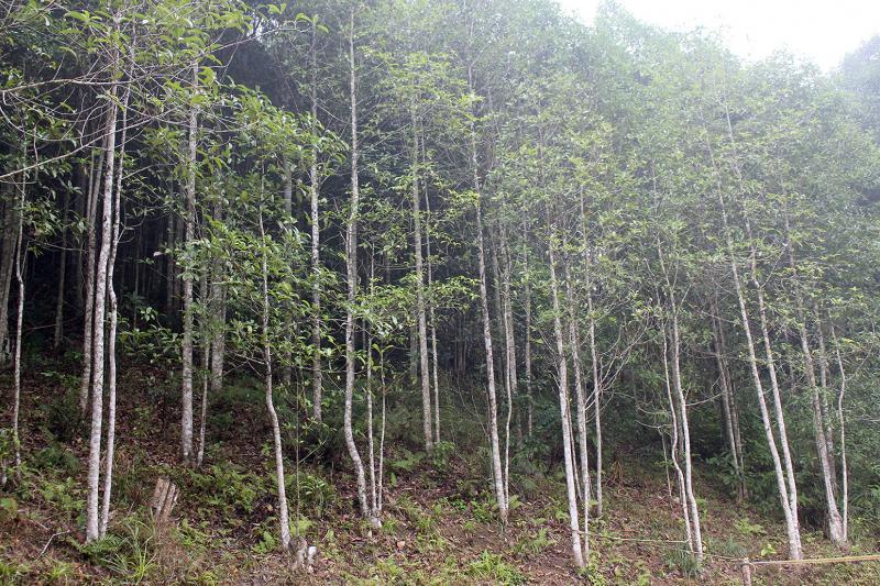 Nhiều cánh rừng mỡ ở Bản Lù được trồng theo dự án đang phát triển xanh tốt.