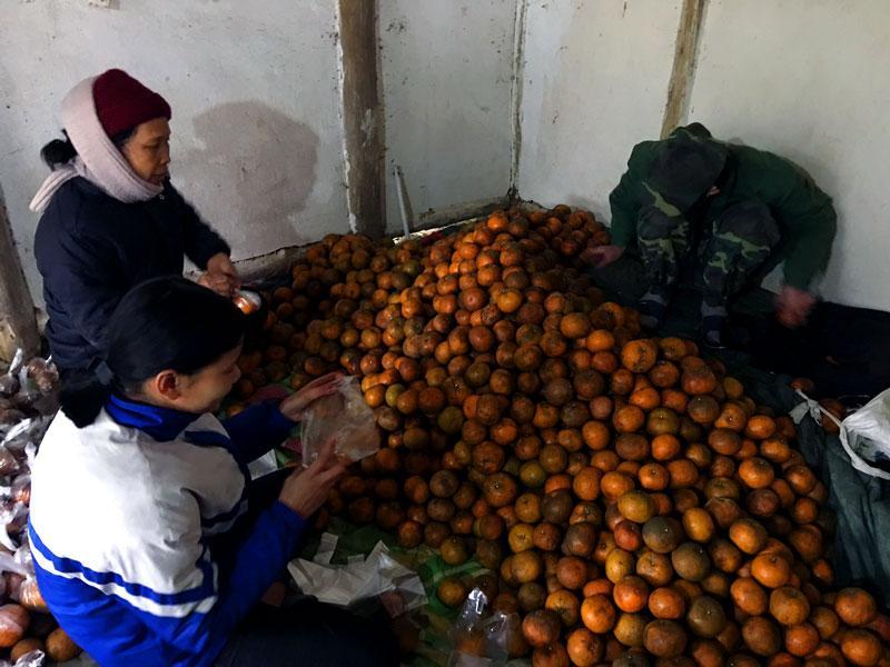 Gia đình bà Trần Thị Hải ở thôn Bản Chàn, xã Dương Phong ước thu hoạch khoảng 15 tấn cam.