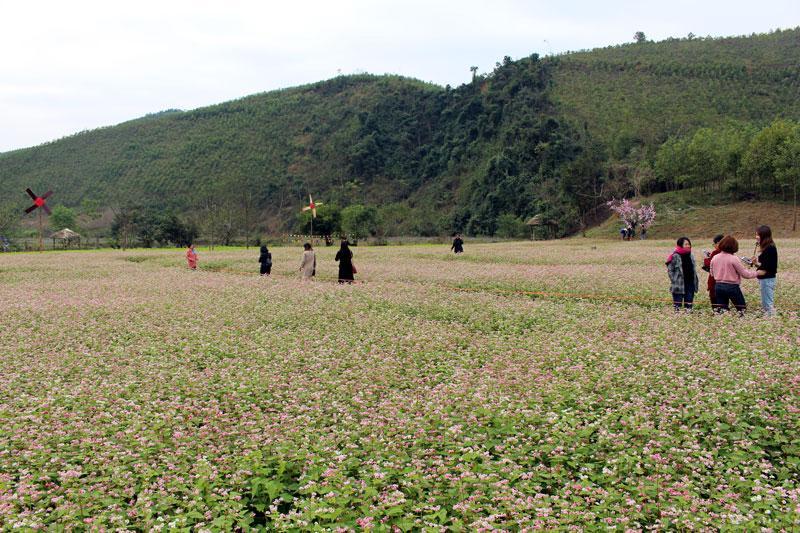 Công ty CP Hà Linh đã gieo trồng thành công loài hoa tam giác mạch tại thôn Đồng Luông, xã Quảng Chu.