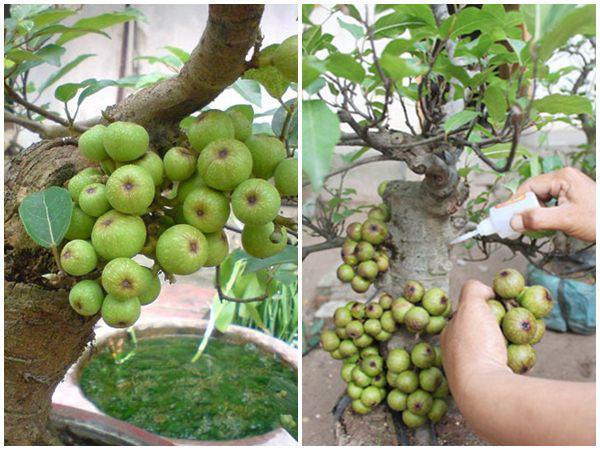 Cây sung là biểu tượng cho sự sung mãn, tròn đầy nên cây sung rất được người Việt ưa chuộng trồng làm cảnh. Tuy nhiên, nhiều cây sung được làm giả bằng cách gắn keo 502. (Ảnh minh họa)