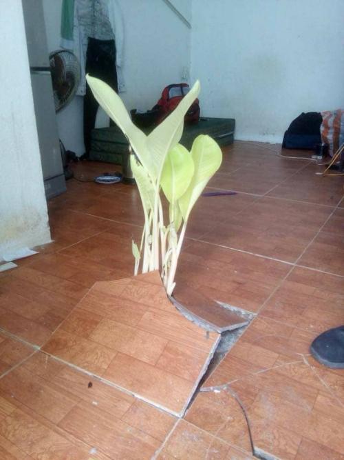 Hình ảnh cây chuối đội sàn nhà mọc lên sau kì nghỉ Tết