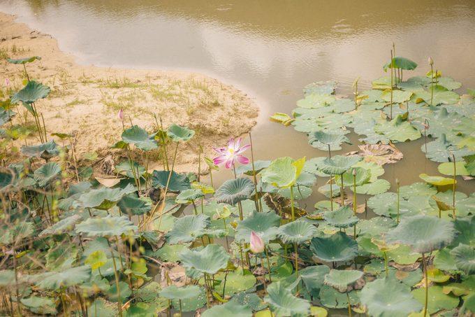 Cả hồ sen mênh mông trước kia nay chỉ còn lại cánh đồng sen nhỏ cạnh mặt đất nứt nẻ. Bông hoa hiếm hoi, mạnh mẽ vươn lên giữa hồ nước tưởng chừng như sắp bốc hơi.
