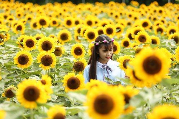 Việc trồng và chăm sóc khá khó nhưng hướng dương Nhật chỉ cho hoa trong khoảng thời gian từ 7-10 ngày là tàn.