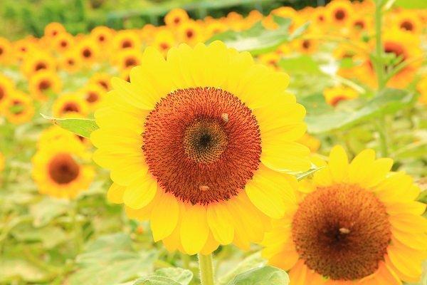 Những bông hoa to, đều cùng hướng về một phía tạo sự say mê cho giới trẻ vượt đường xa đến đây tham quan.