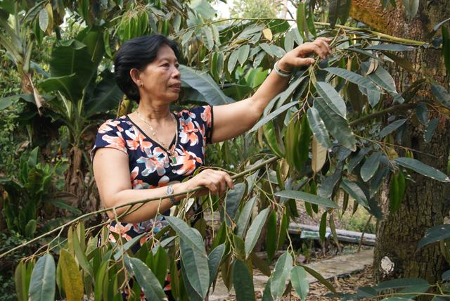 Cô Hương chăm sóc vườn sầu riêng
