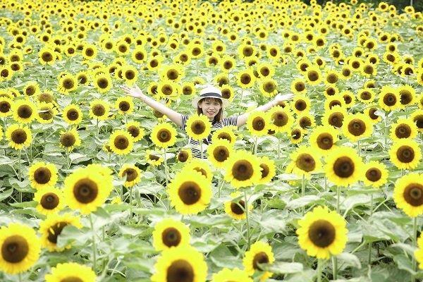 Mỗi năm chỉ mở cửa vào hai mùa là mùa tết và lễ 30/4 vườn hoa Mãn Đình Hồng với loại hoa hướng dương Nhật khá đẹp đã thu hút khá đông người đến chụp ảnh.