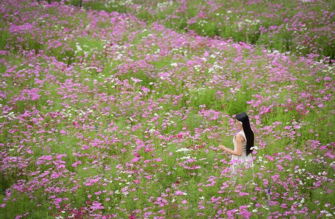 Trong đó đồng hoa bươm bướm được nhiều người yêu thích nhất bởi sắc hồng nhẹ nhàng, mong manh trước cơn gió nhẹ của loài hoa này - Ảnh: Đoàn Nhựt Thanh