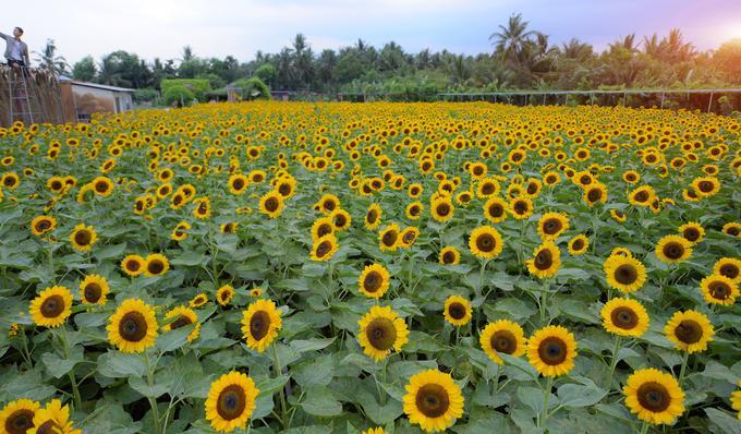 Mãn Đình Hồng trồng hoa theo mùa, mỗi mùa mỗi loài khác nhau và cũng tùy thời điểm hoa nở rộ hay chưa. Vì vậy bạn nên cập nhật thông tin trước khi đến để khỏi bỡ ngỡ hay