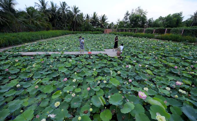 Bao bọc xung quanh những luống hoa đủ sắc màu là hồ sen trắng, sen hồng nơi bạn dễ dàng bắt gặp hình ảnh các thiếu nữ làm dáng trong bộ áo dài truyền thống, ngồi tát nước trên chiếc cầu gỗ - Ảnh: Đoàn Nhựt Thanh