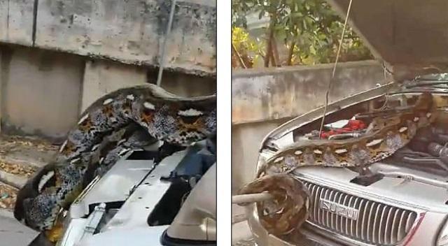 Vị khách không mời trong động cơ xe của ông Tee Natwijit. Ảnh: Daily Mail