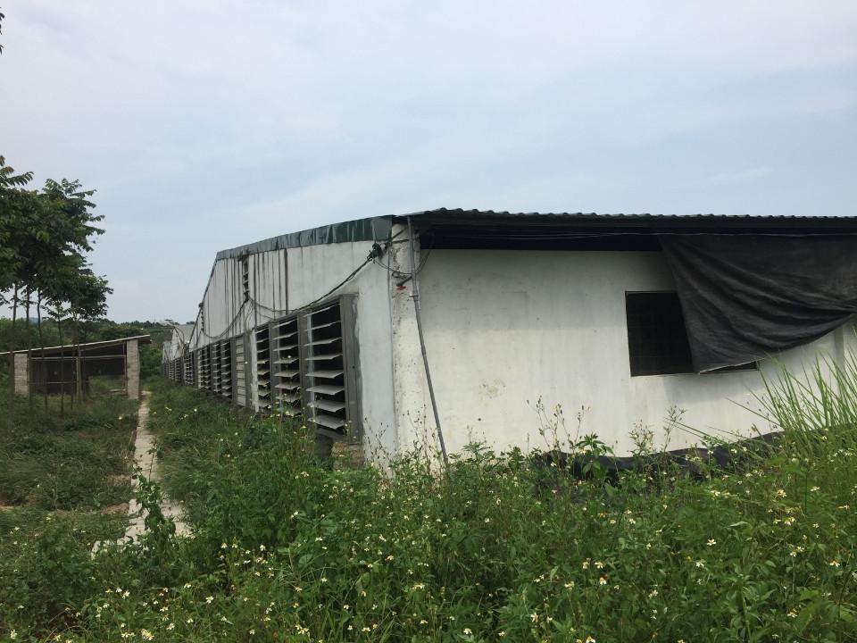 Các trại nuôi lợn xả thải gây mùi hôi thối khiến người dân bức xúc.