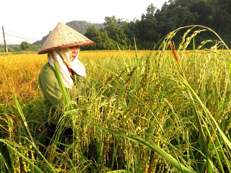 Đây là năm thứ 2 chị Hà Thị Xuyến ở thôn Khau Mạ, xã Hà Vị hái thóc nếp làm cốm bán.
