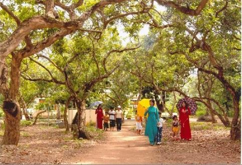 Vườn nhãn cổ ở Bạc Liêu. (Nguồn: nuathegioi.com)