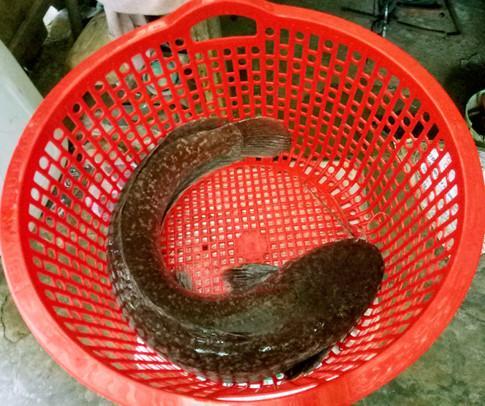 Con cá trê mà ông ông Nguyễn Văn Vũ bắt được. Ảnh: Thanh Niên