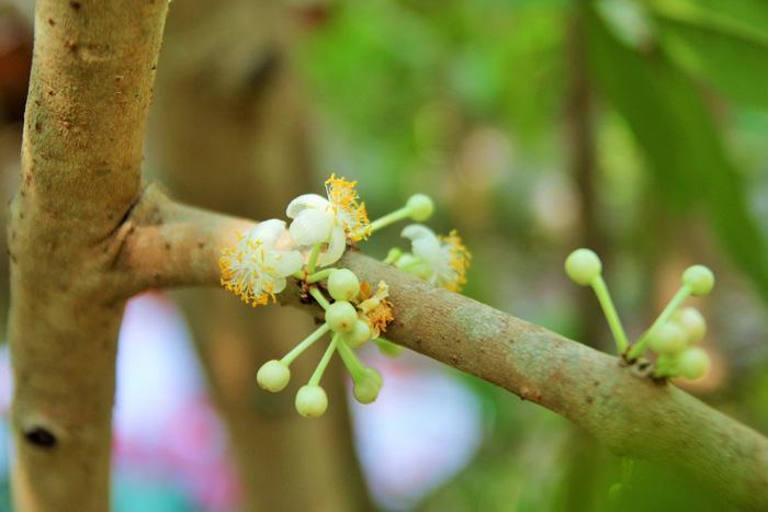 Hoa sẽ nở thành nhiều đợt, hết lớp này đến lớp khác - Ảnh Mậu Trường/ Tuổi trẻ