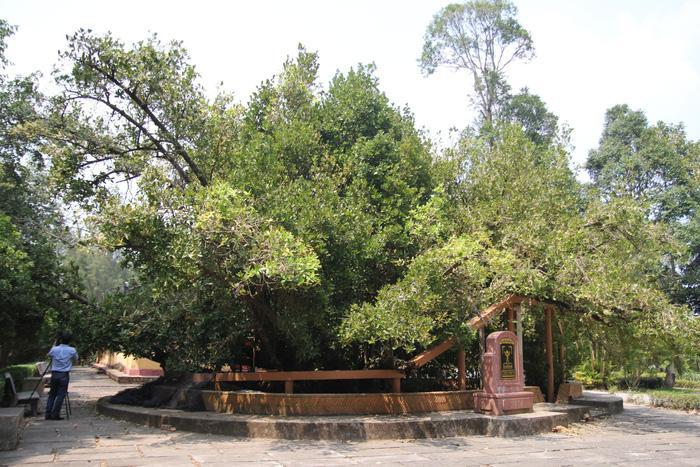 Cây Bạch Mai trên 300 tuổi nằm trước sân đình Phú Tự- Ảnh Mậu Trường/ Tuổi trẻ