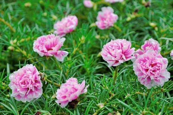 Đa số nơi đây trồng hoa mười giờ, từ mười giờ đơn đến hoa kép.