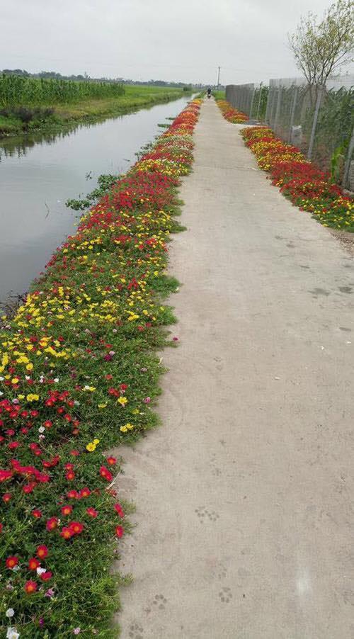 Hoa đẹp trải dài hai bên đường làng.