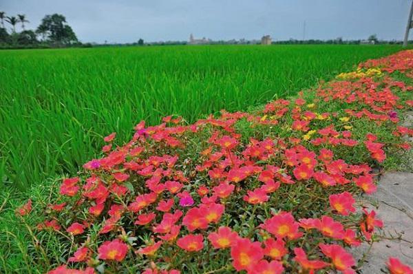 Những khóm hoa nở đỏ rực tô điểm cho làng quê giản dị.