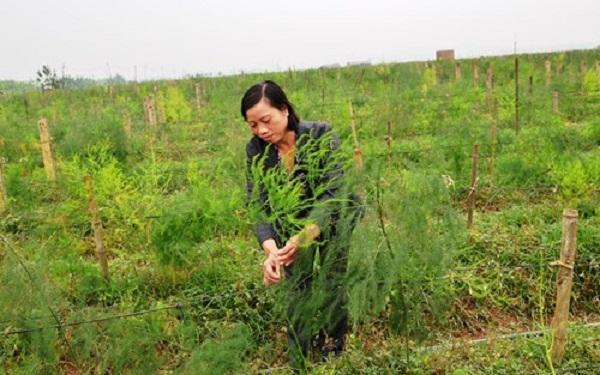 Chị Nguyễn Thị Trang chăm sóc cây măng tây xanh tại trang trại. Ảnh: Lê Hiếu