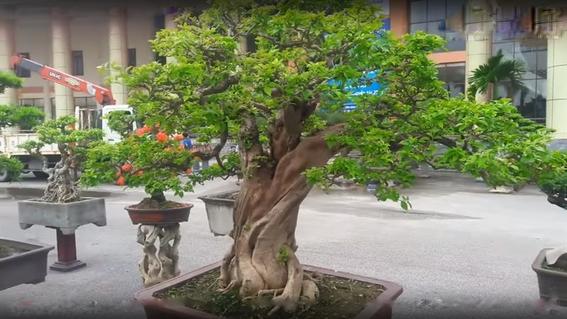 Tuy nhiên theo anh Cường, một người tham dự triển lãm tại Bắc Ninh cho hay, giá của cây hoa giấy không cao đến thế, nó còn tùy thuộc vào độ tuổi của cây.