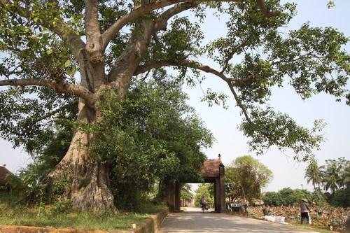 Cùng với sân đình và giếng nước, cây đa cũng góp phần trở thành biểu tượng, một hình ảnh không thể thiếu của mỗi làng quê.