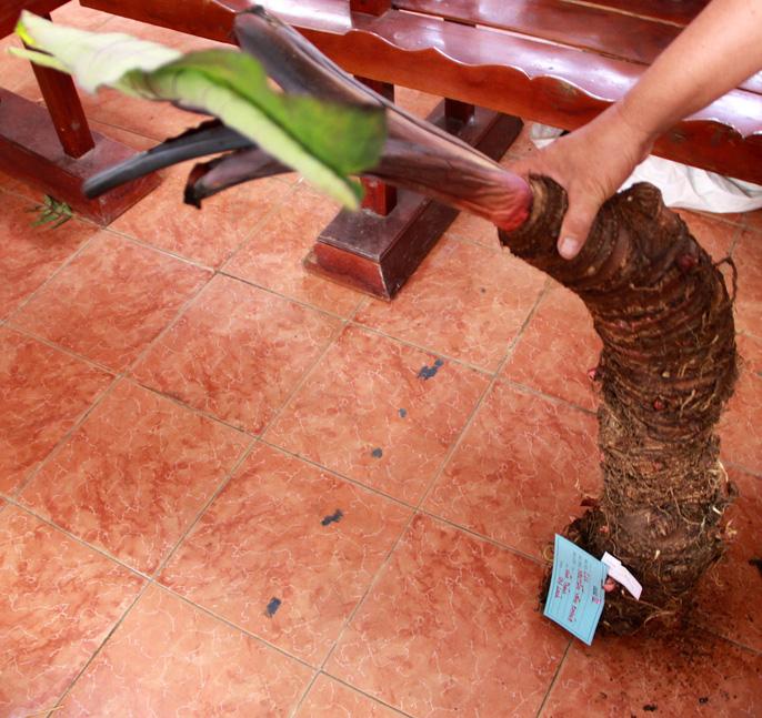Củ khoai môn hiếm gặp dài 90 cm và nặng gần 10 kg