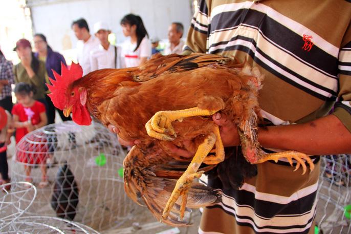 Chú gà trống 4 chân góp mặt tại lễ hội thu hút nhiều khách hiếu kỳ đến xem