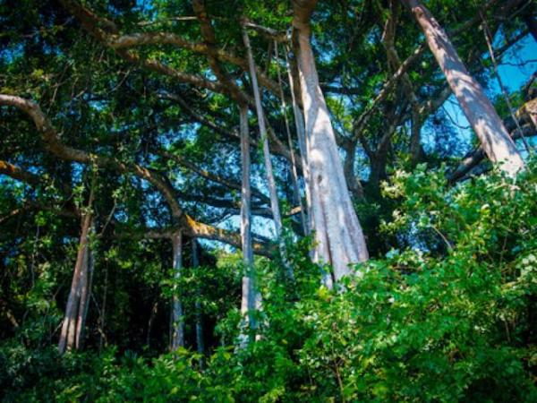 Hình ảnh cây đa ngàn năm tuổi ở Đà Nẵng. (Nguồn: danviet.vn)