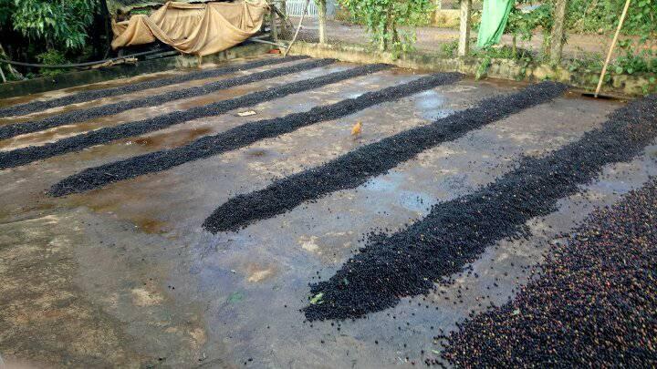 Mưa kéo dài nên người dân chỉ đổ cà phê ra cho ráo nước. Ảnh: Trang Anh