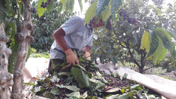 Tranh thủ trời hửng nắng người dân đi thu hoạch cà phê Ảnh: Trang Anh