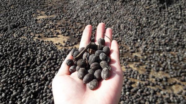Nhiều hạt cà phê bị mốc, hư hại do mưa kéo dài. Ảnh: Trang Anh