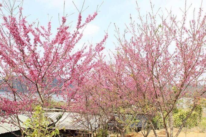 Điện Biên Đảo hoa ở hồ Pá Khoang, huyện Điện Biên là điểm đến hot nhất của tỉnh trong thời gian này. Tại đây trồng hàng chục cây hoa anh đào có nguồn gốc từ Nhật Bản, bung nở thành từng chùm màu hồng tông đậm, nhạt khác nhau. Lễ hội hoa anh đào diễn ra tại đảo từ ngày 5 đến 7/1 với nhiều hoạt động văn hóa, văn nghệ và tham quan. Hoa anh đào đã nở và sẽ tiếp tục khoe sắc trong suốt tháng 1. Từ trung tâm thành phố bạn đi khoảng 20 km về xã Mường Phăng, sau đó đi thuyền 10 phút ra đảo Ảnh: Anh Thiết