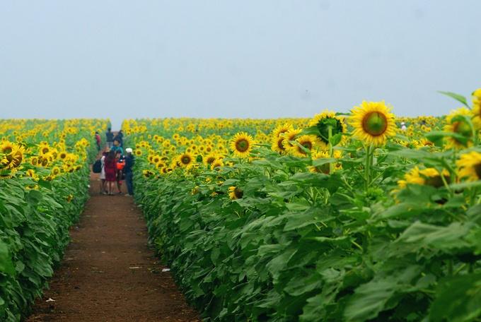 Nghệ An So với mọi năm, hoa hướng dương ở huyện Nghĩa Đàn được trồng và nở muộn hơn. Đây là cánh đồng hoa lớn nhất Việt Nam với diện tích lên đến 60 ha. Năm nay tại đây dự kiến tổ chức lễ hội hoa hướng dương lần 2 sau lần đầu vào năm 2016. Bạn không mất phí vào chụp ảnh. Tại đây có một số dịch vụ cho du khách như cho thuê thang, chụp ảnh dịch vụ... Ảnh: Nam Chấy.