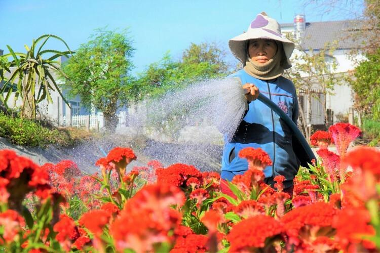 Bà Đồng Thị Bảy cho biết hoa gần bán phải tưới nhiều nước để giữ độ ẩm. Ảnh: Việt Quốc.