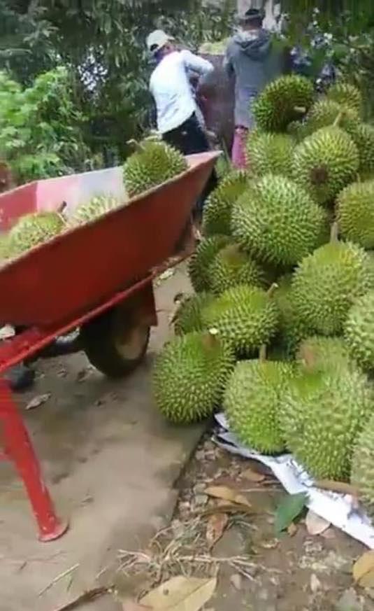 Sầu riêng và nhiều loại trái cây khác ở miền Tây bắt đầu chính rộ nhưng thương lái chấp nhận bỏ cọc chứ không chịu thu mua.