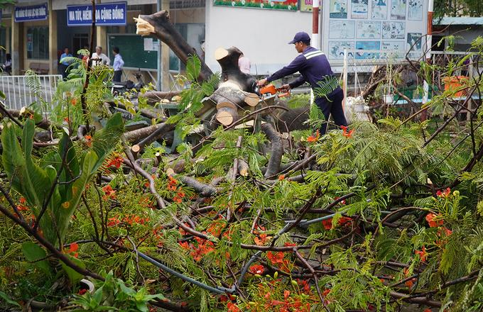 Cơ quan chức năng xử lý cây phượng bật gốc chiều 4/6. Ảnh: Phước Tuấn.