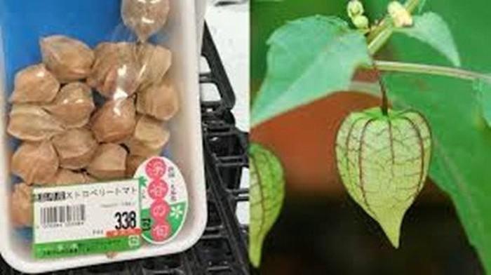 Ở Việt Nam, tầm bóp là loại quả dại có thể hái tại bờ ruộng mà không tốn tiền mua. Ảnh: Kul.