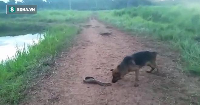 Chó béc - giê tò mò với con lươn. Ảnh: Cắt từ video trong bài