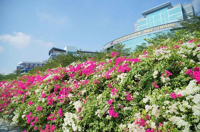 Giàn hoa giấy rực rỡ trước cổng trường Đại học Tôn Đức Thắng (Ảnh: tdtu)