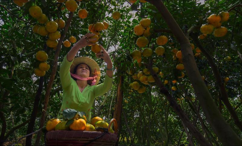 Bà con nhà vườn trồng quýt ở Lai Vung (Đồng Tháp) vào mùa thu hoạch.  Một khu vườn rộng lớn xanh um, nổi bật với những trái quýt to vàng óng và nặng cong trĩu cành. Ảnh: Bùi Quang Vũ.