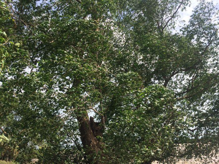 Những cây bần cặp mé sông quê