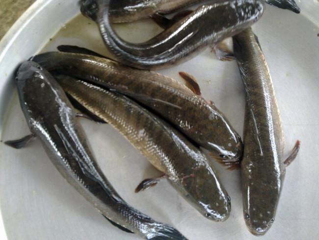 Để làm ra những con cá khô cá lóc ngon, ngọt và thịt dai nhất, nguyên liệu phải là cá lóc còn sống, tươi ngon. Ảnh: Goodprice.